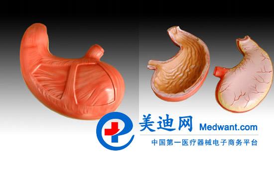 胃解剖模型 益联胃解剖模型YLM A306价格350元 厂价直销益联YLM A